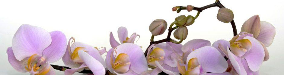 Come coltivare l'orchidea